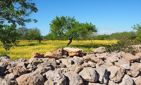 Typisches Bild im ländlichen Mallorca